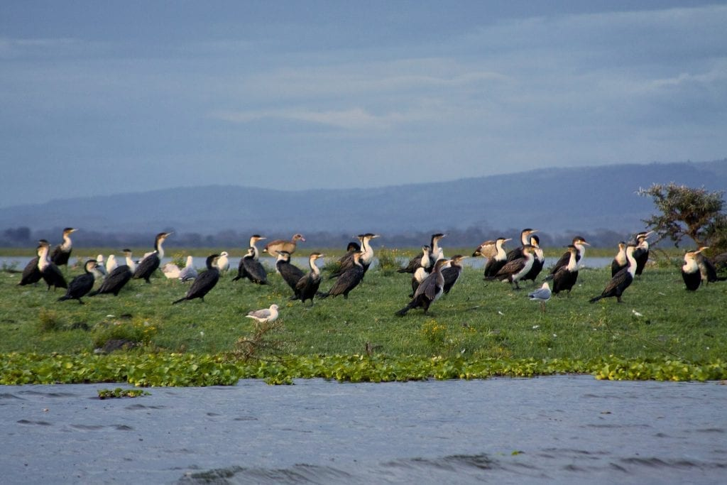 Cormorants on Lake Naivasha